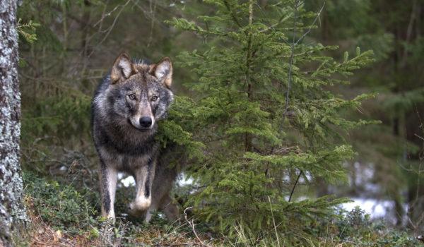 Wwf: la regione marche è la strada giusta per salvare lupi e allevatori