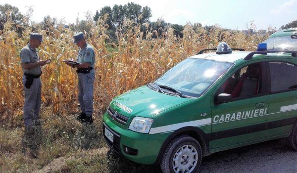 CARABINIERI FORESTALI:CONTROLLI DI MAIS OGM  NELLE MARCHE